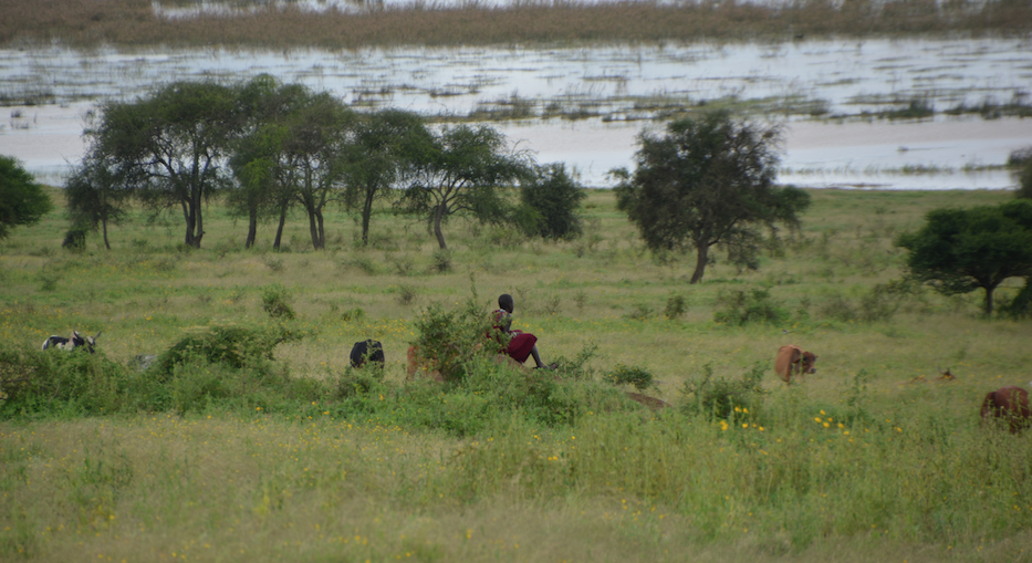 A young Masai boy watches over his cattle.